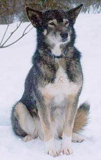 photograph of champion sled-dog