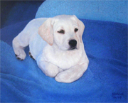 white Labrador puppy on a blue blanket