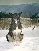 champion sled dog painted pet dog portrait